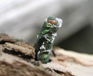An Emerald Ash Tree Borer emerges from the trunk