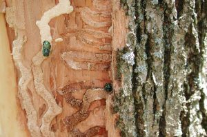 An emerald ash borer's trail underneath the bark of a trunk