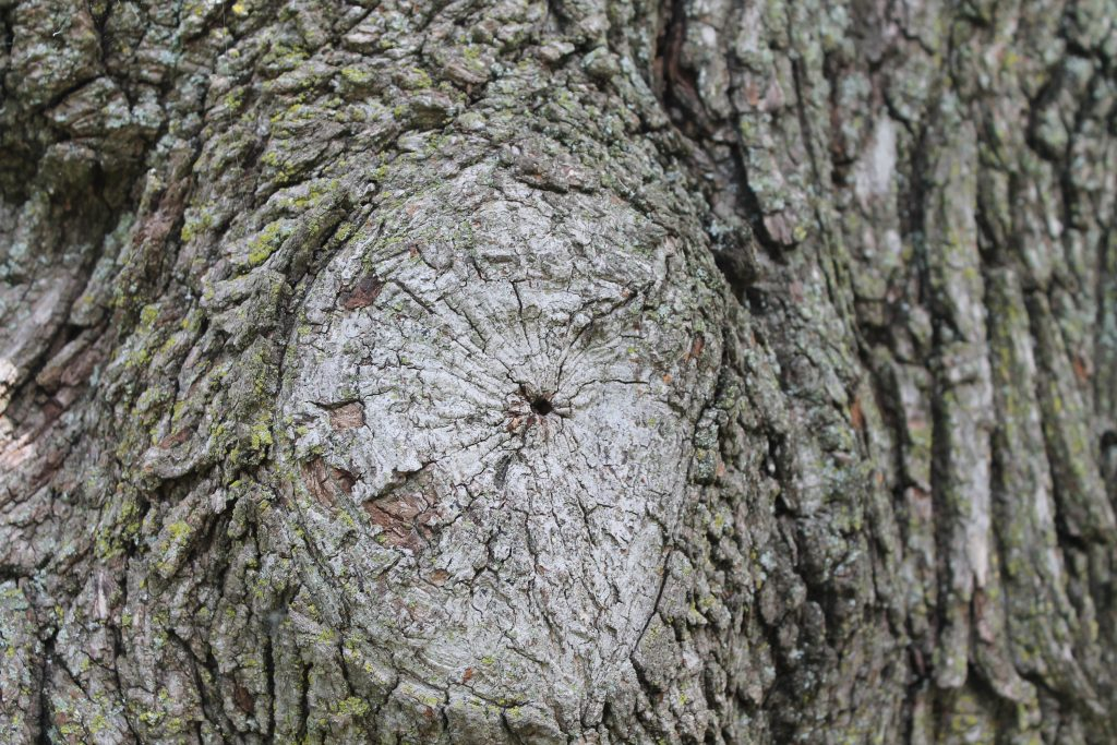 A tree that is healing well will have a callous covering it