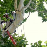 Ed in a sycamore tree, doing decay detection.
