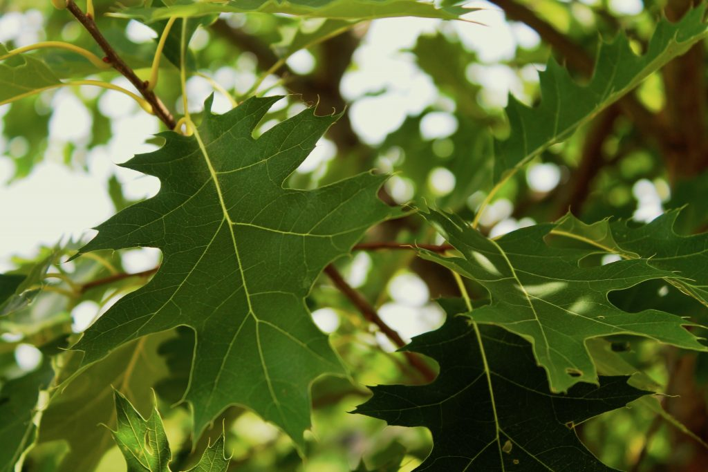 Oak leaves against a sunny background. Proper care makes them healthy and beautiful.