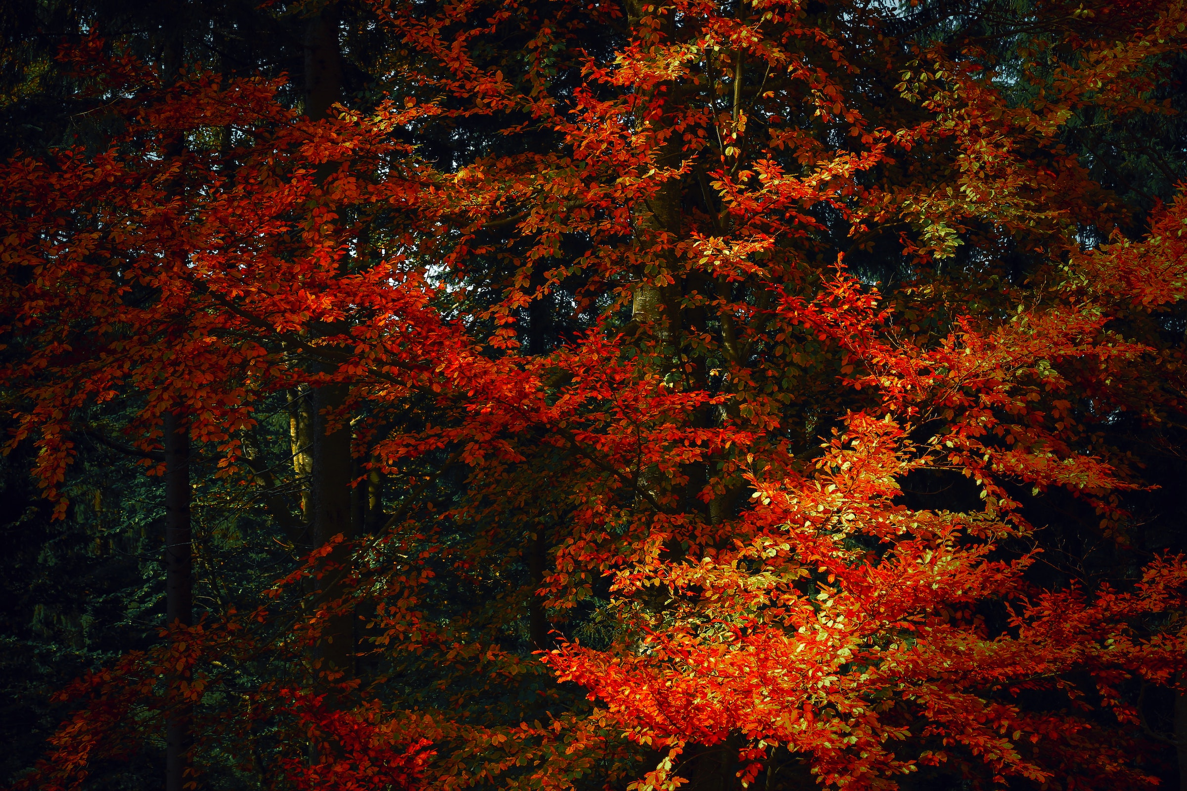 Red, yellow, orange, and green foliage